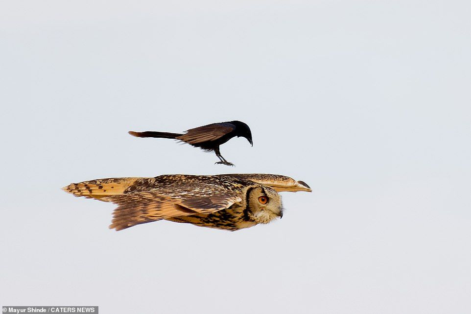 28963630-0-The_black_drongo_takes_offence_at_the_owl_which_is_around_three_-a-20_1590740136668.jpg