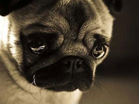 crying-pug.jpg